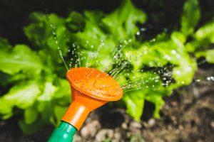 salad-water-garden-plant
